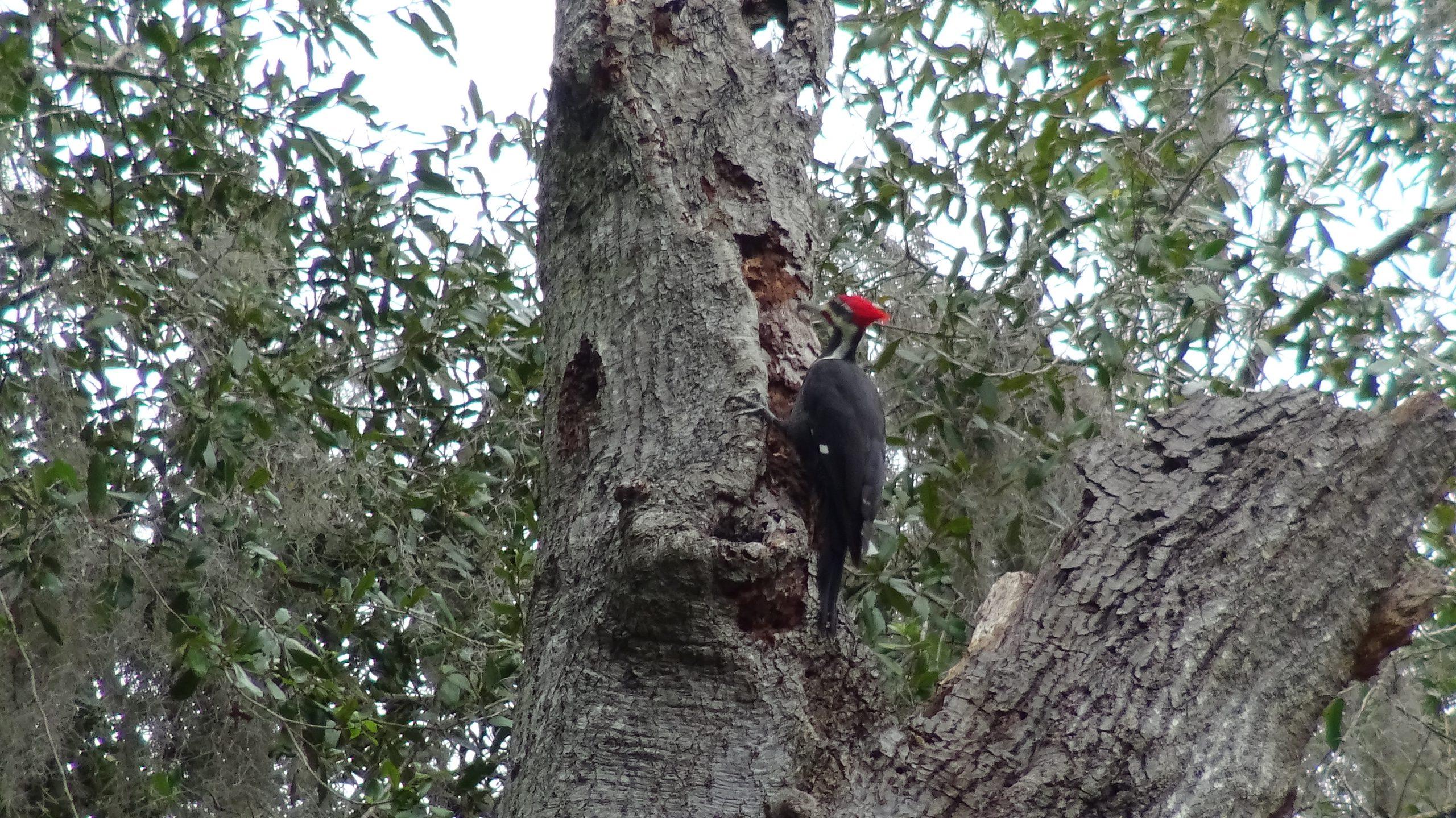 Woodpecker - 4