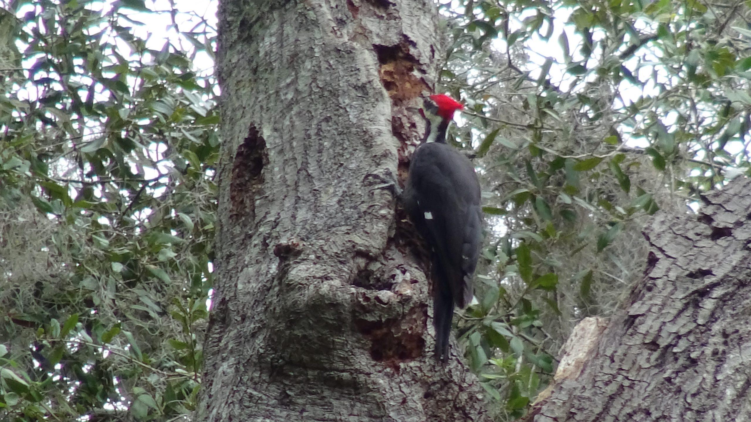 Woodpecker - 8