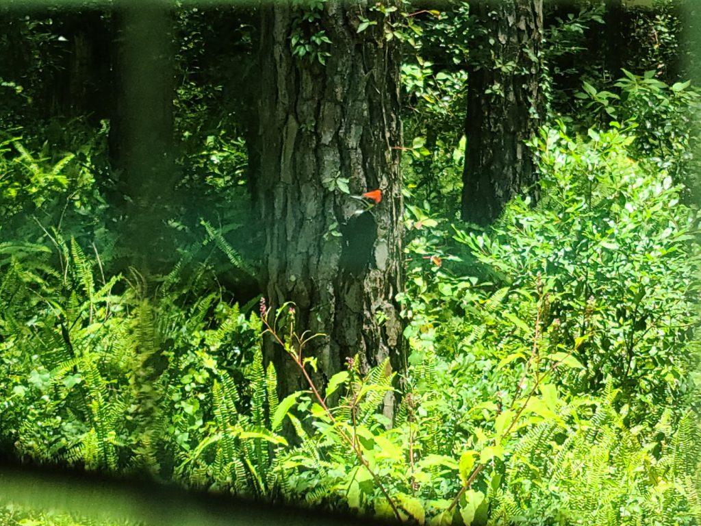 Woodpecker 2020-06 - 01