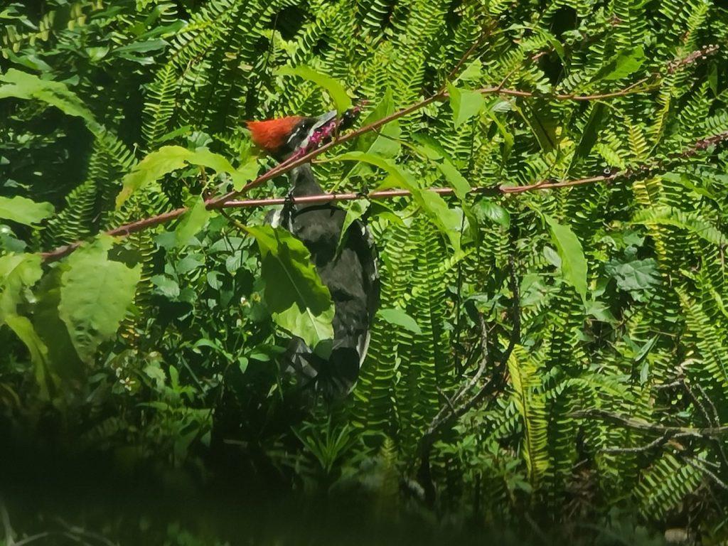 Woodpecker 2020-06 - 02