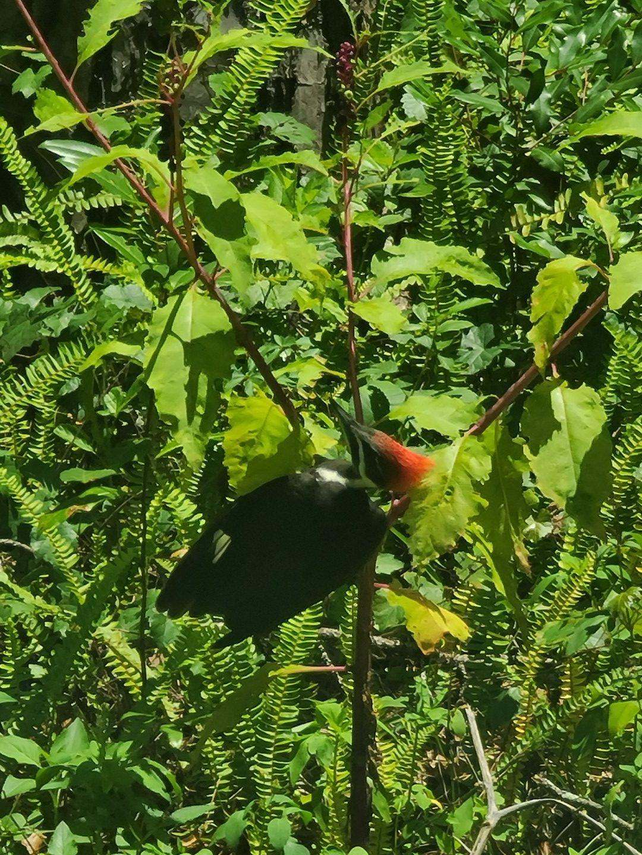 Woodpecker 2020-06 - 03