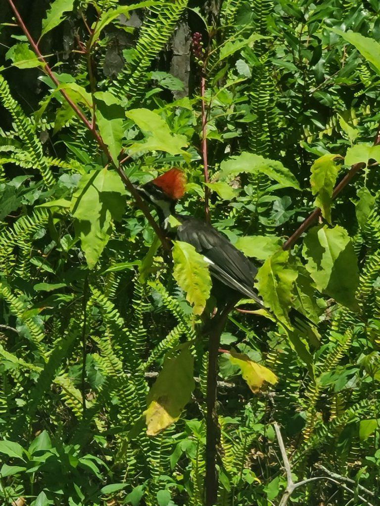 Woodpecker 2020-06 - 04