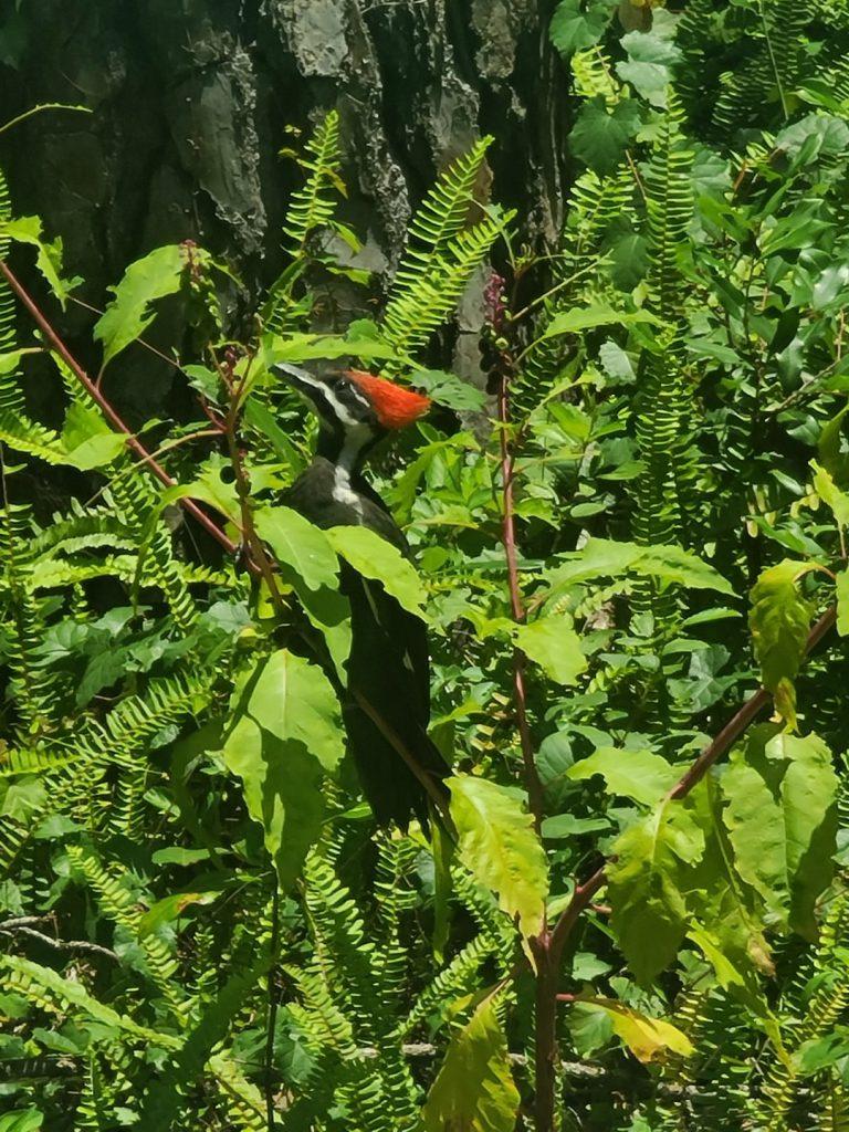Woodpecker 2020-06 - 05