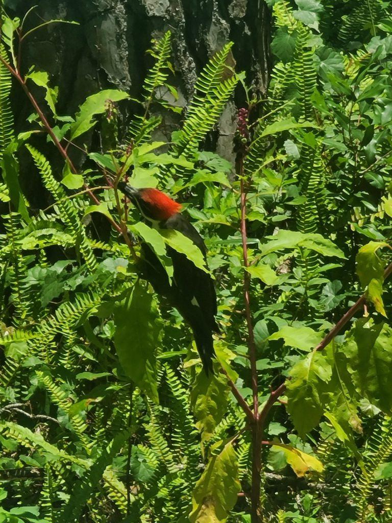 Woodpecker 2020-06 - 07