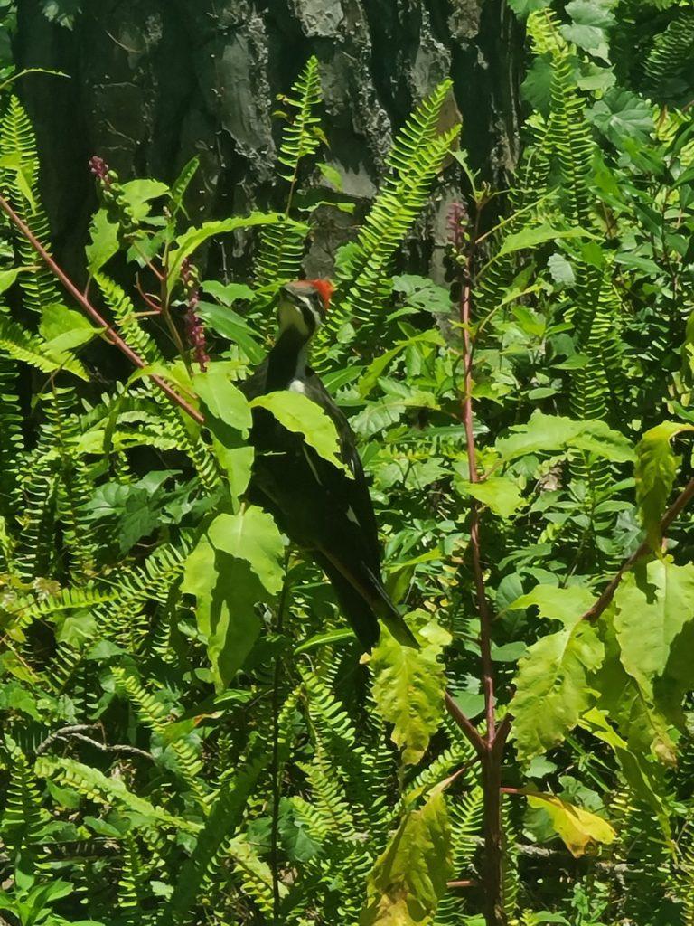 Woodpecker 2020-06 - 10