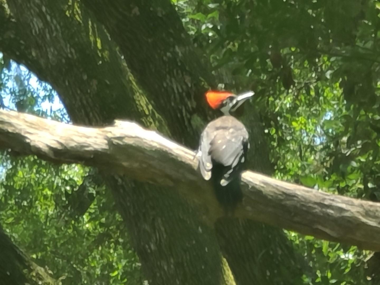 Woodpecker 2020-06 - 12