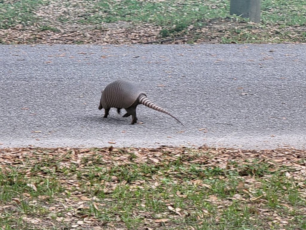 Armadillo crossing the street 2021-03-18 - 3