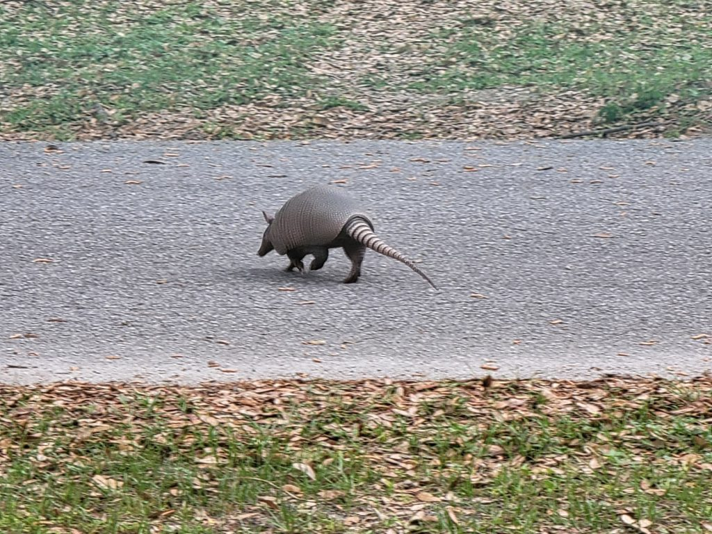 Armadillo crossing the street 2021-03-18 - 4