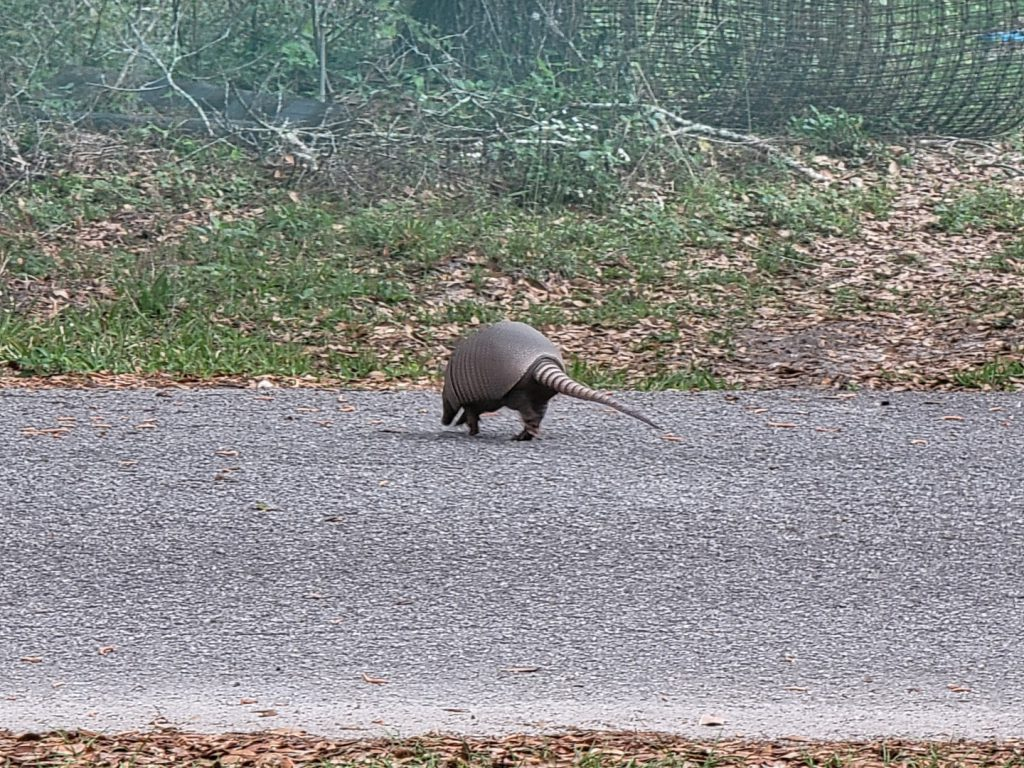 Armadillo crossing the street 2021-03-18 - 5