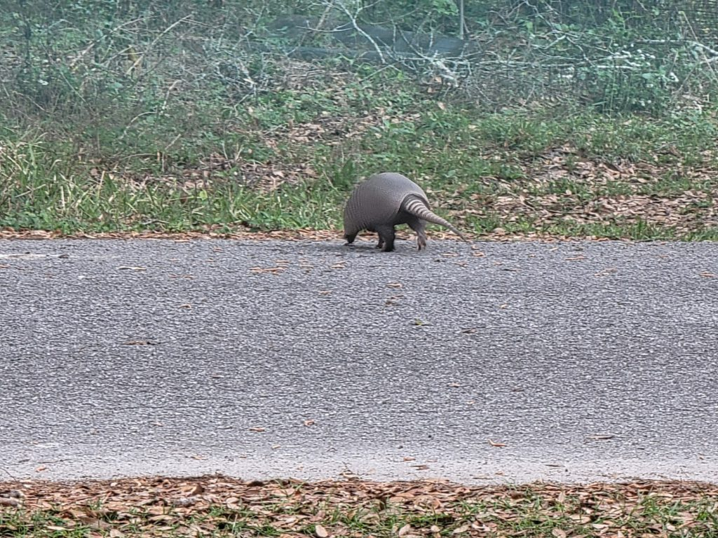 Armadillo crossing the street 2021-03-18 - 6