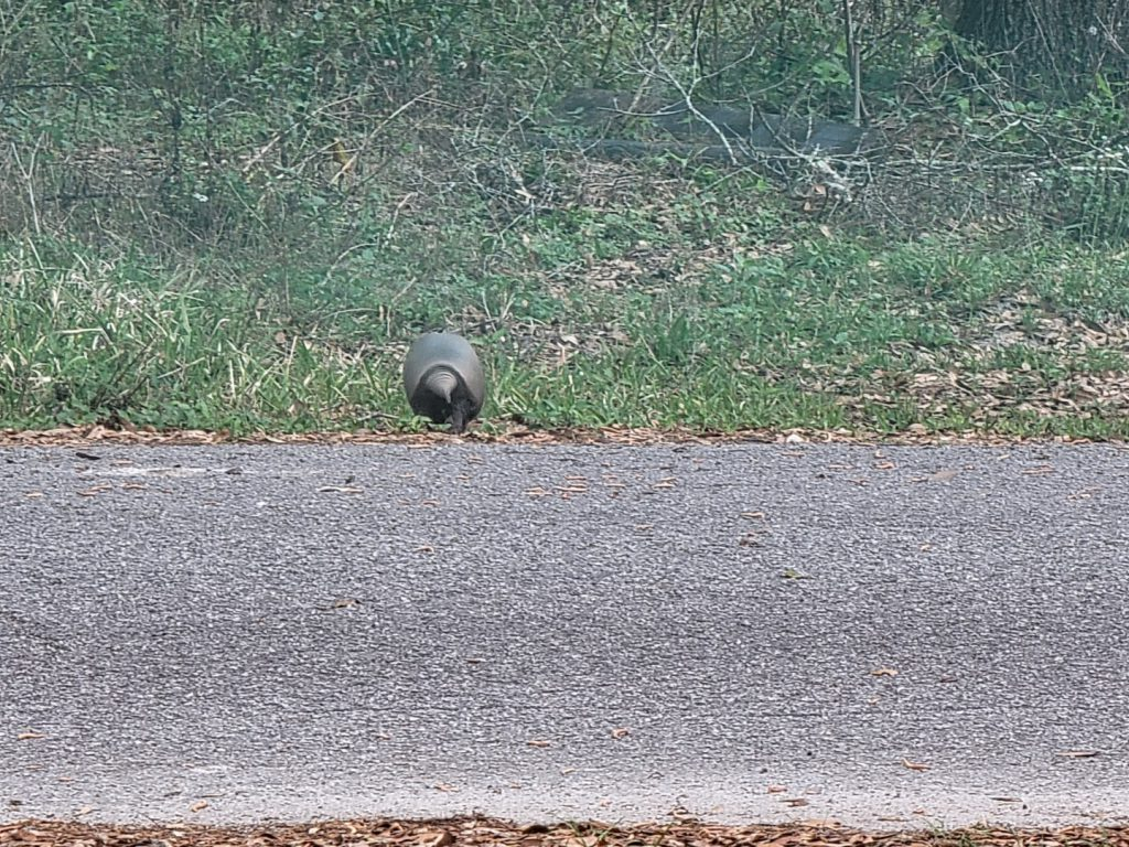 Armadillo crossing the street 2021-03-18 - 8