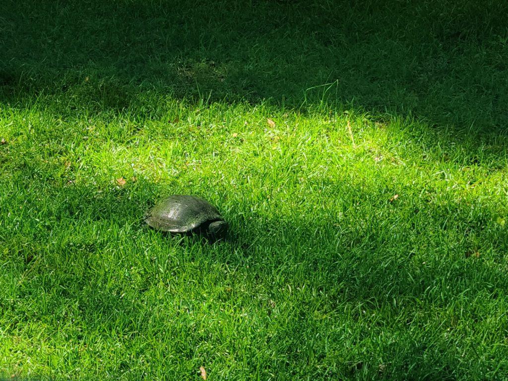 Turtle 2020-05-19 6