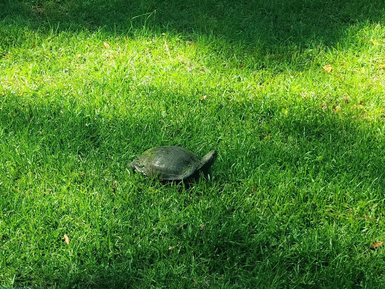 Turtle 2020-05-19 8