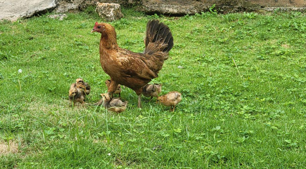 Chicken with chicks (2021-07) 4